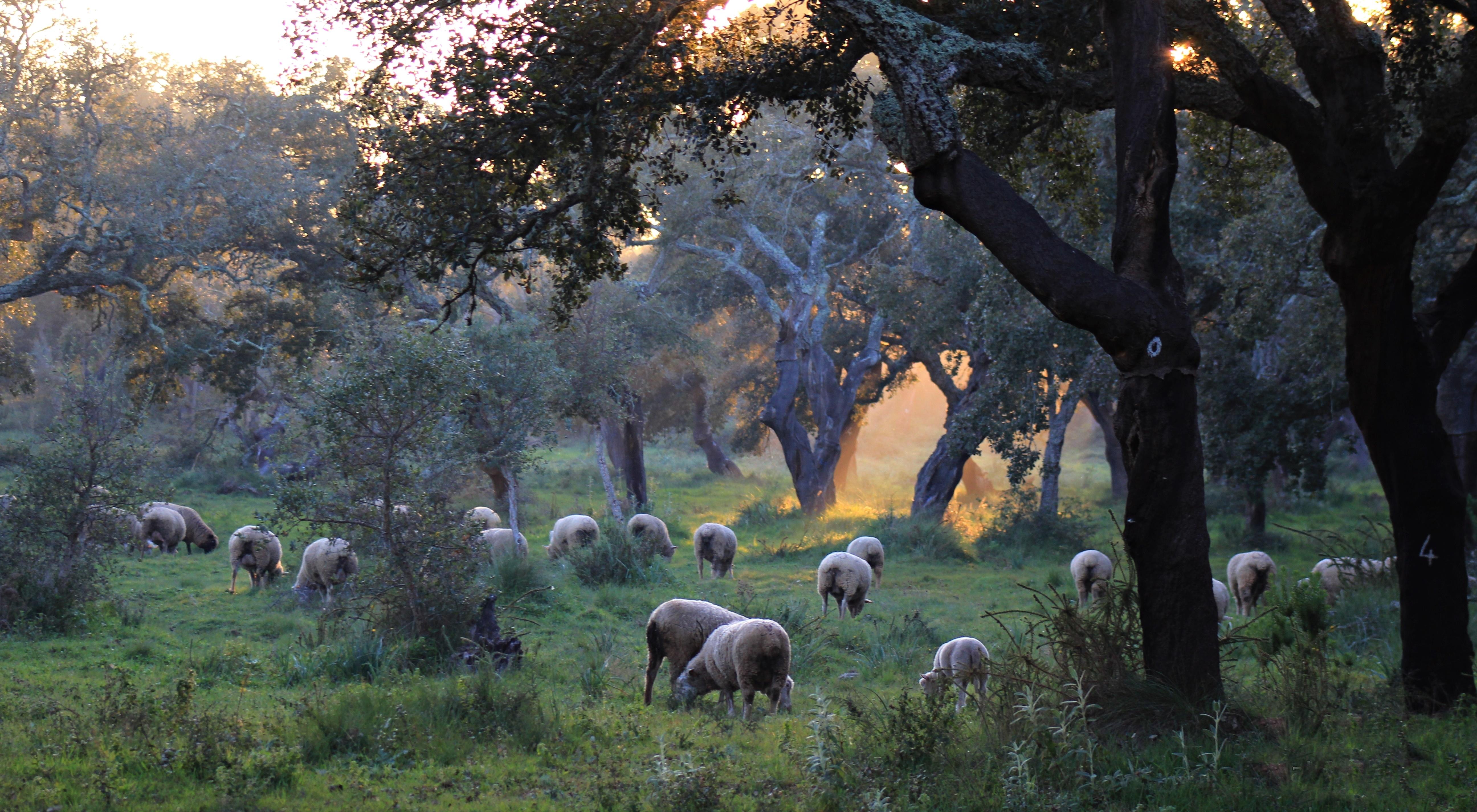 Grazing sheep in the Alentejo